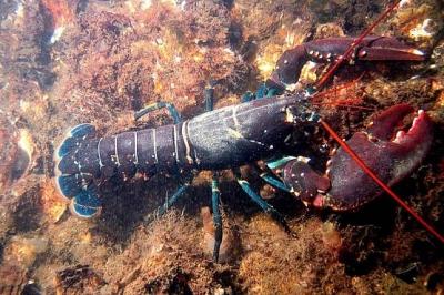 De minister van Maritieme Zaken en Visserij ging naar Australië en over de kreeftenteelt besproken