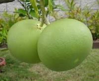 Nutzen von Jeruk Bali-Bali Orange