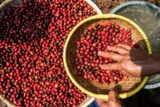 インドネシアのコーヒー取引額は、コーヒーの世界で800億ルピア