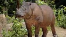 Indonesia and Malaysia Work Together to Preserve Sumatran Rhinos
