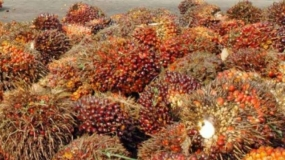 Indonesia's Export of Crude Palm Oil Ranks the First in Egypt