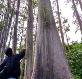 Les arbres d'arc-en-ciel à Bondowoso en province de Java Est.